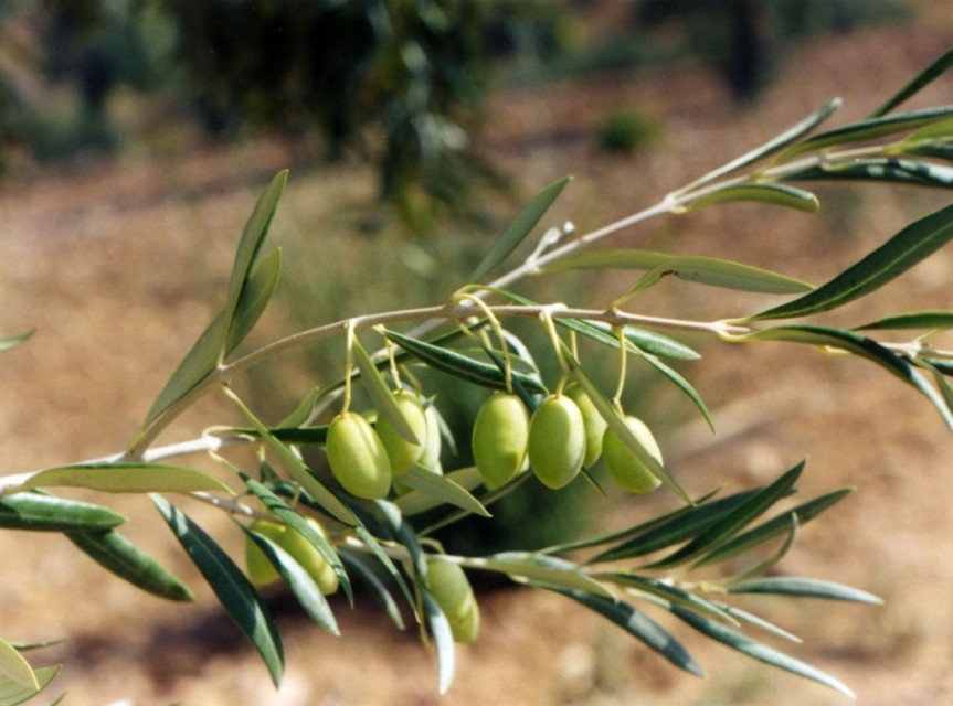 Importancia de los Polifenoles en AOVE Ecológico -Come Vida Bio–